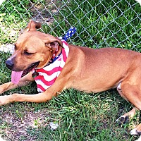 Staffordshire Bull Terrier Mix Dog for adoption in Missouri, Texas - Fargo