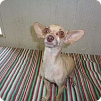 Adopt A Pet :: Sweetie Pie IN CT - Manchester, CT