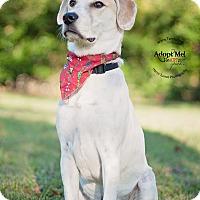 Adopt A Pet :: Beau - Kingwood, TX