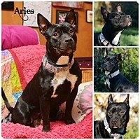 Pit Bull Terrier Dog for adoption in Sioux Falls, South Dakota - Aries