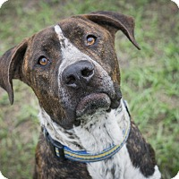 Plott Hound Mix Dog for adoption in Jacksonville, Florida - Maddox
