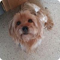 Adopt A Pet :: Chichi - Ocean Ridge, FL