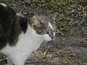 Domestic Shorthair Cat for adoption in Naples, Florida - Paige