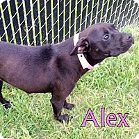 Adopt A Pet :: Alex - Georgetown, SC