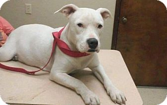 American Pit Bull Terrier Mix Dog for adoption in Houston, Texas - Princess