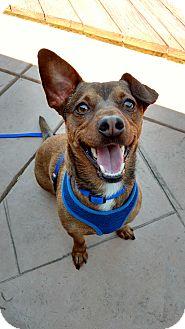 Terrier (Unknown Type, Medium)/Dachshund Mix Dog for adoption in San Francisco, California - Woody
