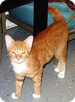 Domestic Shorthair Cat for adoption in Kalamazoo, Michigan - Melissa