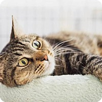 Domestic Shorthair Cat for adoption in Parma, Ohio - Bernadette