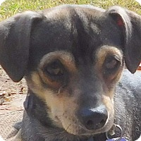 Chihuahua/Pug Mix Dog for adoption in MINNEAPOLIS, Kansas - Chorney