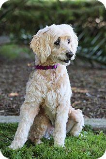 Cocker Spaniel/Cockapoo Mix Dog for adoption in SAN PEDRO, California - Maggie