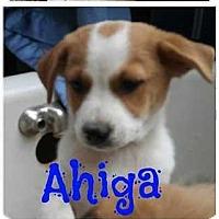 Adopt A Pet :: Ahiga - Denver, CO
