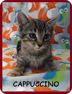Domestic Shorthair Kitten for adoption in Batesville, Arkansas - Cappuccino