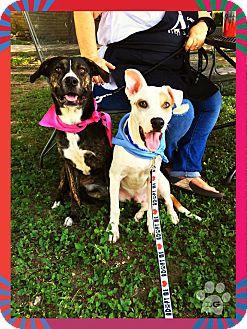 Labrador Retriever/Plott Hound Mix Dog for adoption in Converse, Texas - Alex