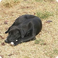 Labrador Retriever Mix Puppy for adoption in guthrie, Oklahoma - Tootsie
