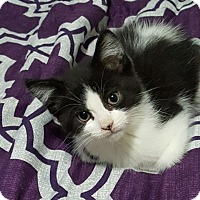 Adopt A Pet :: Domino - Woodstock, ON