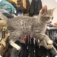 Domestic Shorthair Kitten for adoption in Redding, California - Happy