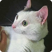 Egyptian Mau Cat for adoption in Marion, Connecticut - Pixie