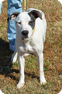 bulldog dalmatian mix dog for adoption in carrollton georgia cutter