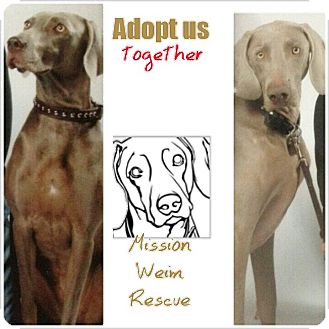 Weimaraner Dog for adoption in Rolling Hills Estates, California - Weimaraner Pair