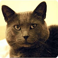 Adopt A Pet :: Bronson - Lunenburg, MA