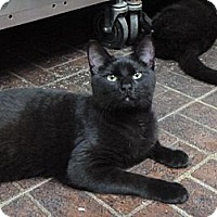 Adopt A Pet :: Black Orchid - St. Petersburg, FL