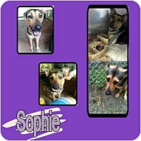 Adopt A Pet :: SOPHIE - Hollywood, FL
