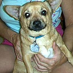 Photo 1 - Chihuahua Mix Dog for adoption in Phoenix, Arizona - Pancho