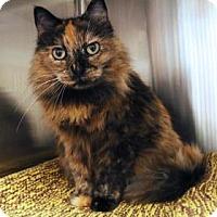Adopt A Pet :: Schnookums - Bellevue, WA
