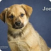 Adopt A Pet :: Joe - Chandler, AZ