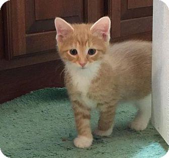 Domestic Shorthair Kitten for adoption in Herndon, Virginia - Salsa