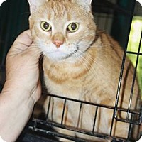 Domestic Shorthair Cat for adoption in Grinnell, Iowa - Cissy