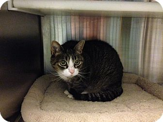 Domestic Shorthair Cat for adoption in Oyster Bay, New York - Willamina