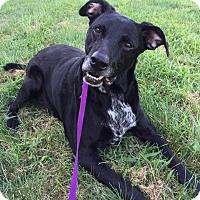Adopt A Pet :: Rogue - Maryville, MO