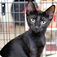 Adopt A Pet :: Morticia - Sarasota, FL