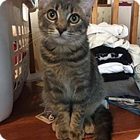 Domestic Shorthair Kitten for adoption in Lindsay, Ontario - Licorice