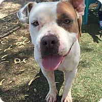 Adopt A Pet :: Lily - Chandler, AZ