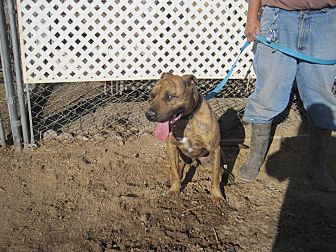 Pit Bull Terrier Mix Dog for adoption in Lancaster, California - Butch