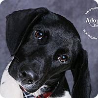 Pointer/Basset Hound Mix Dog for adoption in Cincinnati, Ohio - Han
