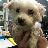 Adopt A Pet :: Cami - Oak Park, IL