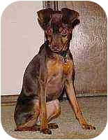 Miniature Pinscher Puppy for adoption in Florissant, Missouri - Sophia May