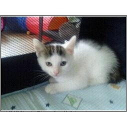 Domestic Shorthair Kitten for adoption in Catasauqua, Pennsylvania - Lily
