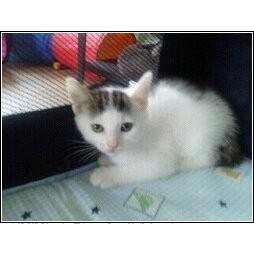 Domestic Shorthair Kitten for adoption in Catasauqua, Pennsylvania - Lily