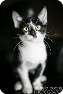 Domestic Shorthair Kitten for adoption in Eagan, Minnesota - Dover