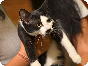 American Shorthair Cat for adoption in Brooklyn, New York - Rosie