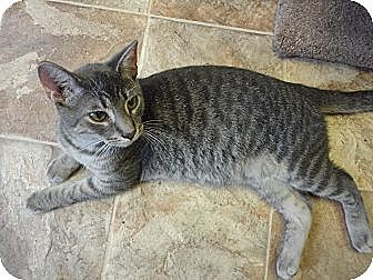 Domestic Shorthair Cat for adoption in MADISON, Ohio - Danny