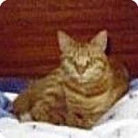 Domestic Mediumhair Cat for adoption in Miami, Florida - Peaches