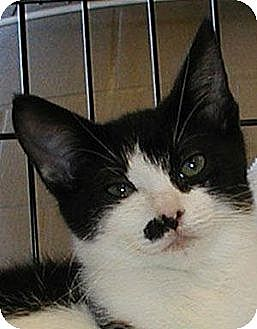 Domestic Shorthair Cat for adoption in Morgan Hill, California - Cowboy