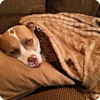 Adopt A Pet :: Courtesy Listing - Roxy - San Diego, CA