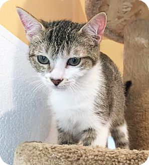 Domestic Shorthair Kitten for adoption in Boca Raton, Florida - Calamity Jane