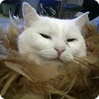 Domestic Shorthair Cat for adoption in Columbus, Ohio - Loki